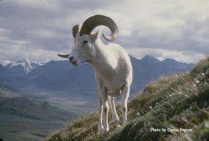 Dall sheep cropped copy